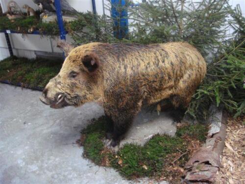 JF02 schwein